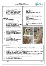 Zoo animals: meerkats