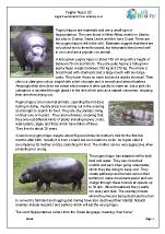 Pygmy hippo 3